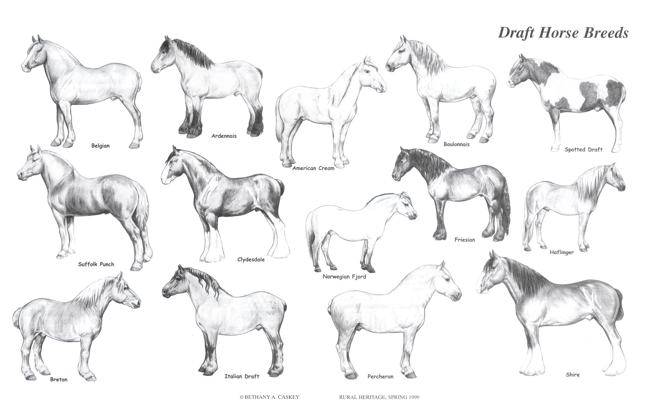 Parts Of A Horse Draft Horse Breeds Draft Horses Horse Breeds [ 1624 x 2550 Pixel ]