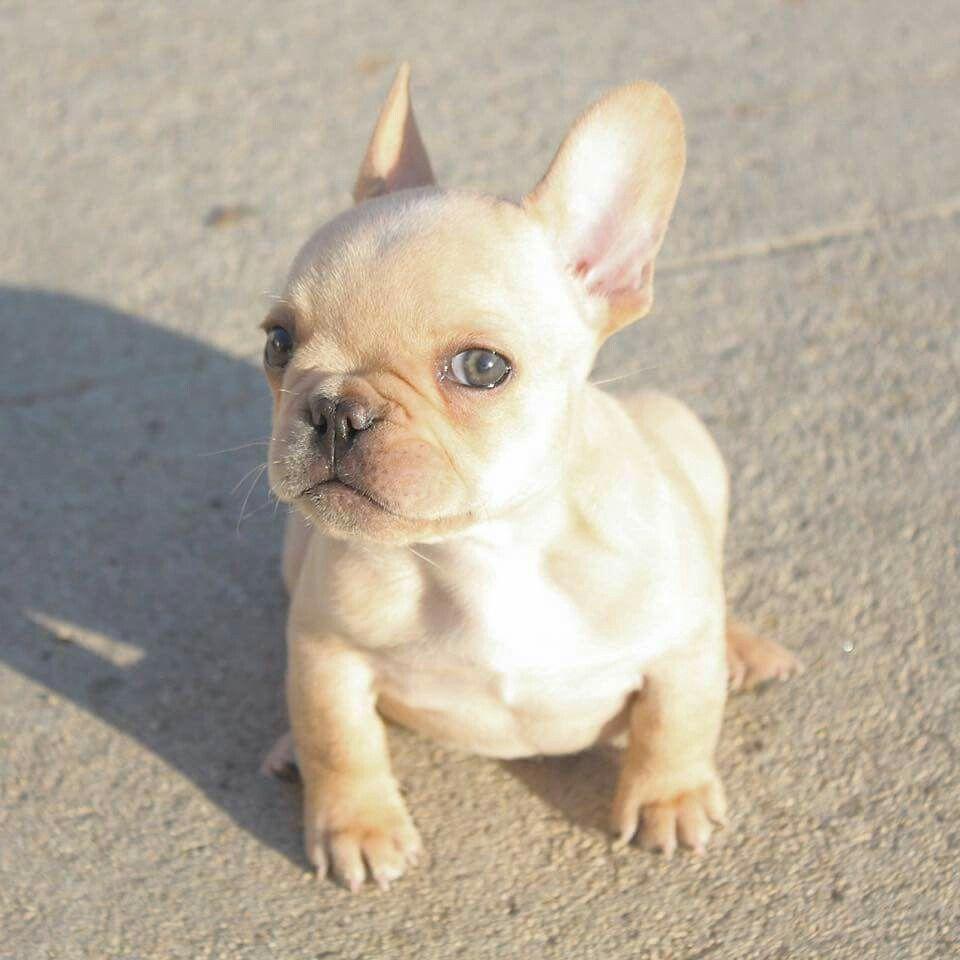 Baby Frenchie French Bulldog Puppy Cute Animals Cute French Bulldog Cute Dogs