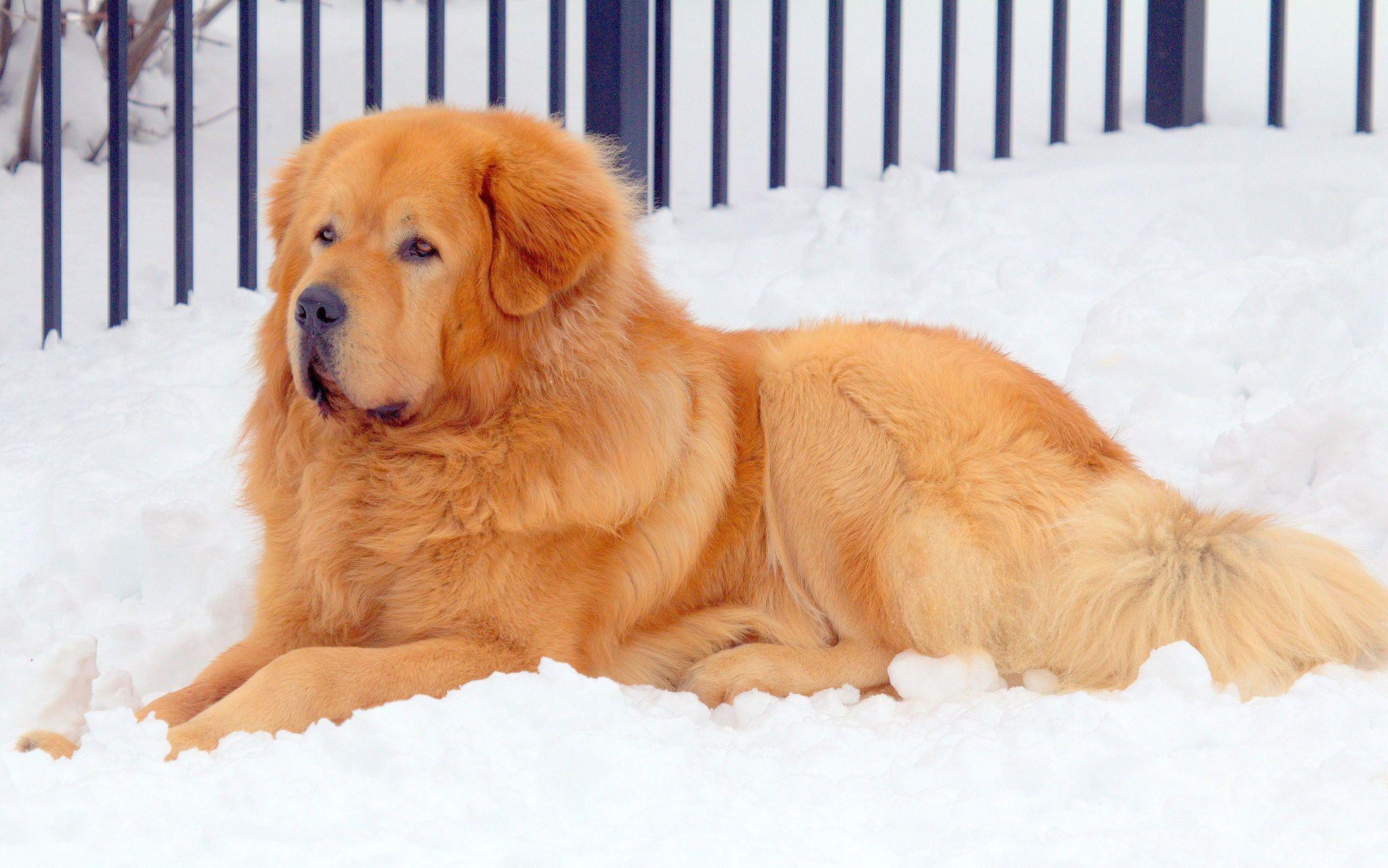 Tibetan Mastiff Information, Characteristics, Facts