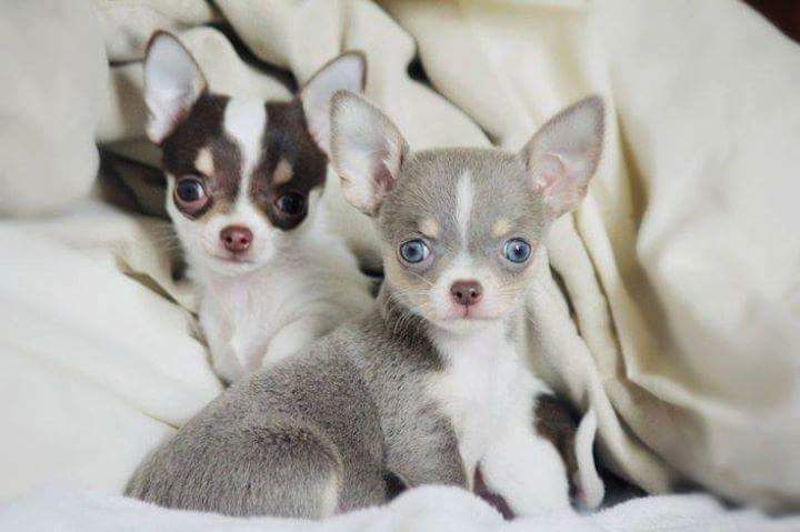 Gray With Blue Eyes Chihuahua Puppies Chihuahua
