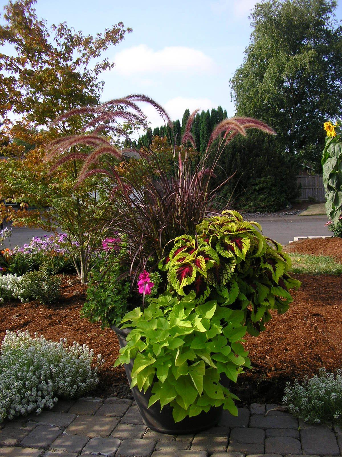 Coleus sweet potato vine ornamental grass purple for Fountain grass garden