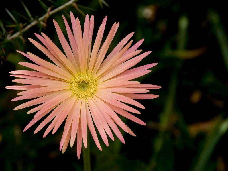 Gergerba pink flower