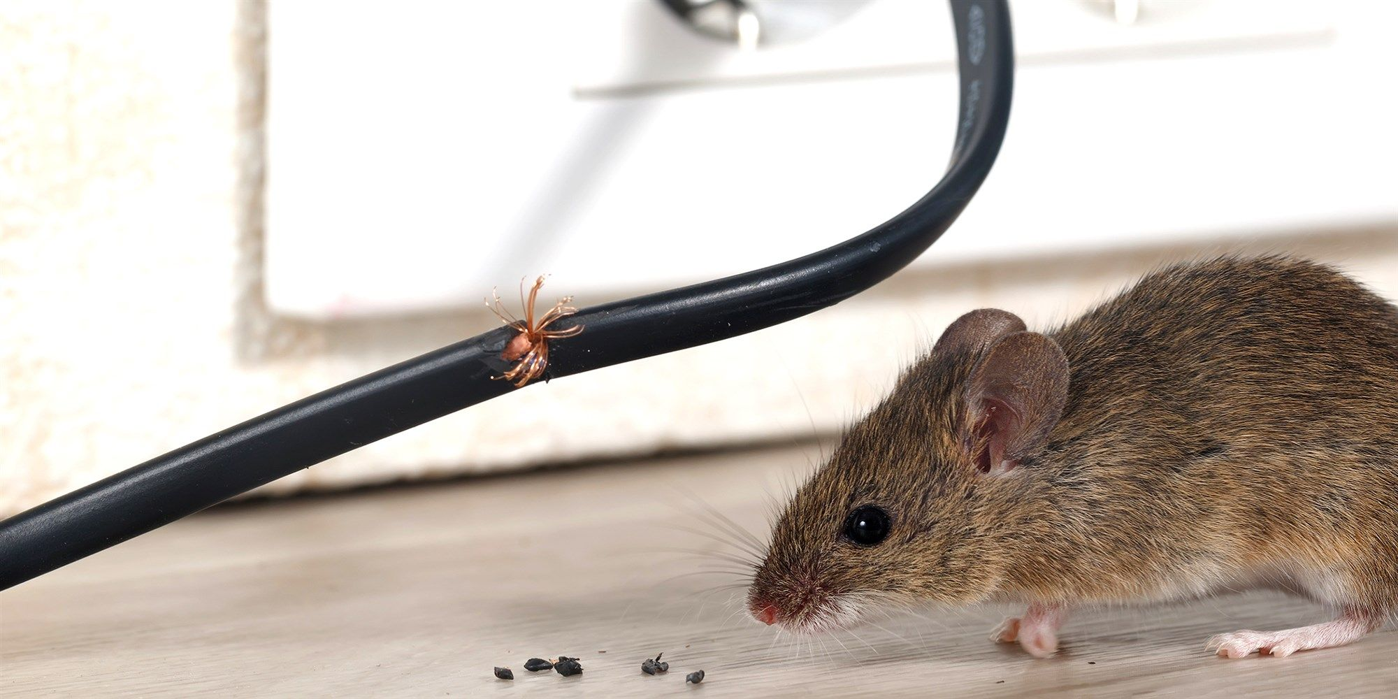 How To Get Rid Of Mice And Rats In Your House Rodent Infestation Getting Rid Of Mice Rodents
