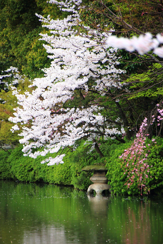 神泉苑 法成就池 燈籠 桜 Japan,Kyoto,Shinsen'en,cherry blossoms