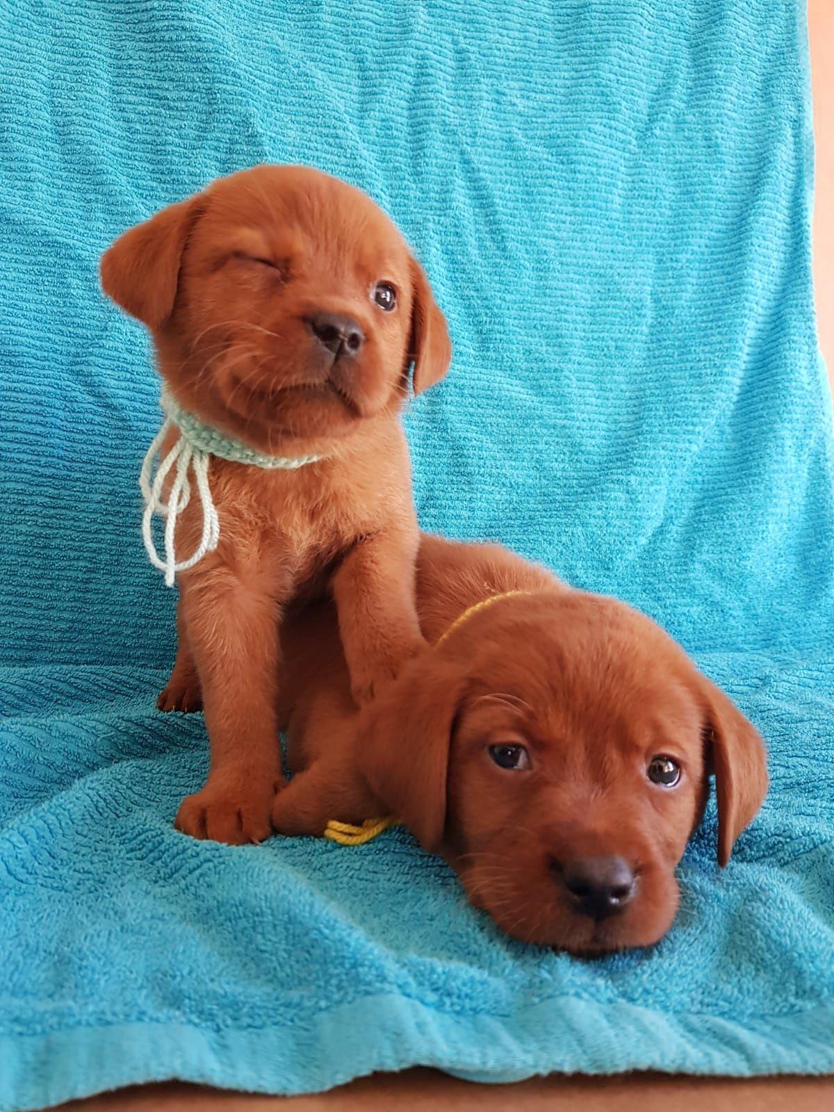 Foxred Labrador Soziale Wir Zuchten Labrador Retriever In Foxred In 2020 Welpen Labrador Labrador Retrievers