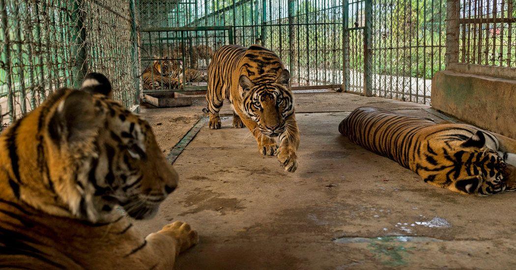 Asia's Illegal Wildlife Trade Makes Tigers a FarmtoTable