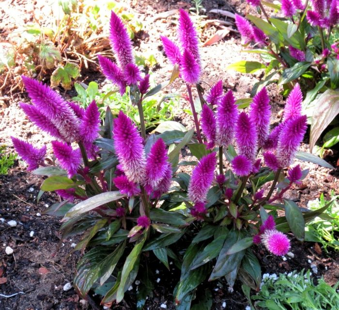 Garten Verschönern Sommerblumen Garten Pflanzen Brandschopf Lila ... Sommer Blumen Pflanzen Pflege