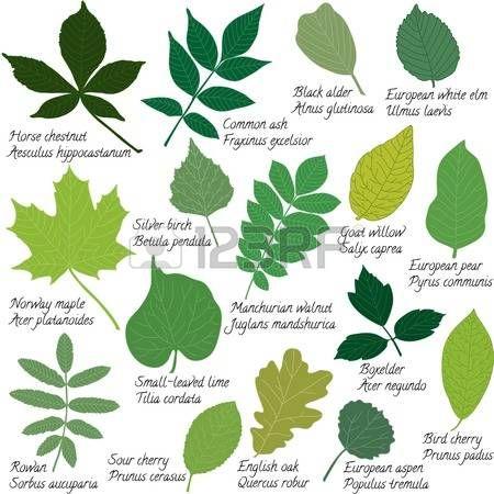 22 Diferentes clases de hojas de arboles