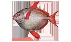 Lampris Guttatus Red Fish Fish Sea Creatures