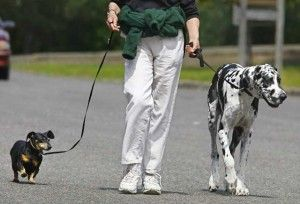 A Great Dane And A Dachshund Being Walked Great Dane Dogs Dane