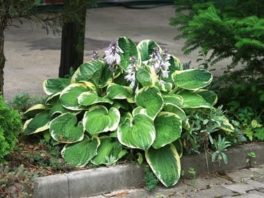 Funkia Christmas Tree Byliny Baza Roslin Hostas Shade Perennials Flowers Perennials