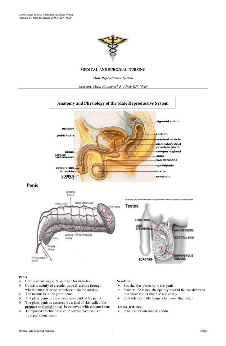 Male Reproductive System by Mark Fredderick Abejo via slideshare
