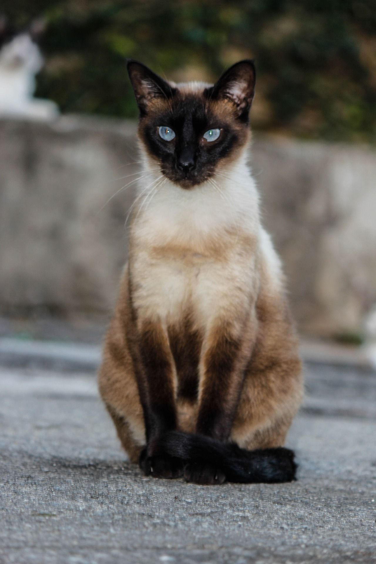Beautiful Siamese Cat On The Street Siamese Siamesecat