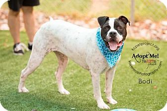 Kansas City Mo American Bulldog Mix Meet Bodi A Dog For