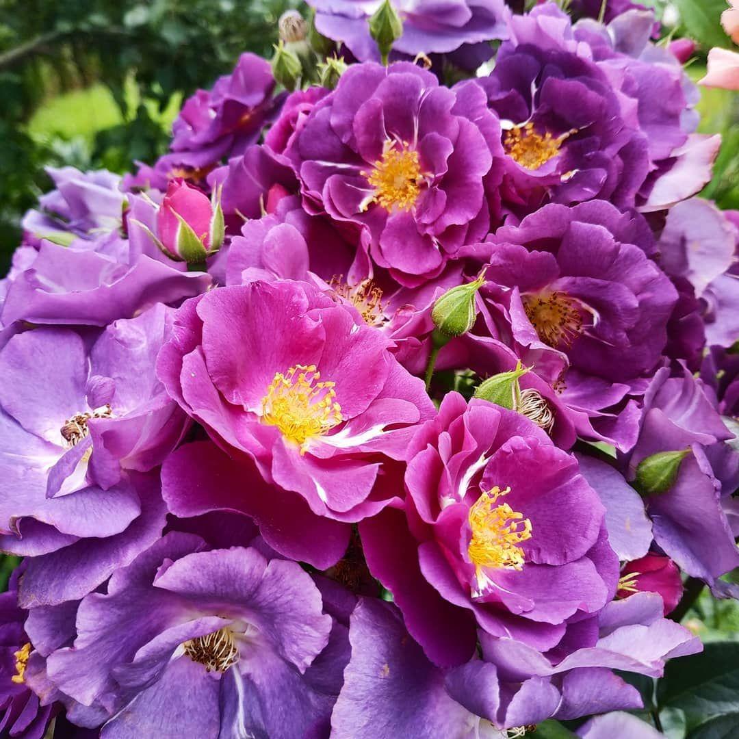 Cvet Nastroeniya Sinij Rhapsody In Blue Rapsodiya V Sinem Anglijskij Shrab 1999g Byla Posazhena Tri Goda Nazad Na Otlichnoe Solnechno Flowers Plants Rose