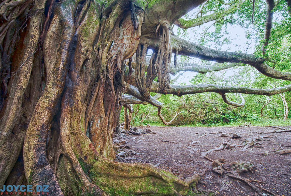 banyan tree, maui, hawaii, aloha, pipiwai trail, best island