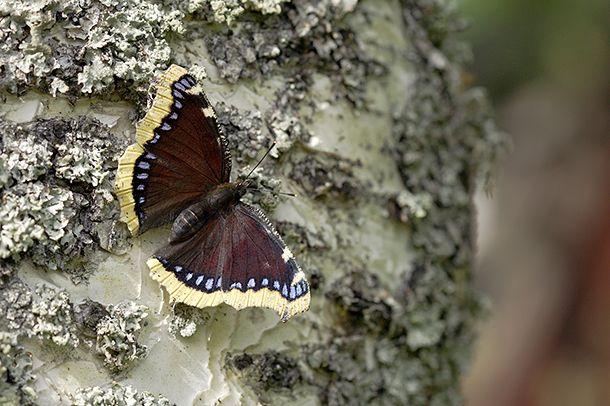 Ryhdy perhosbaarimestariksi   Suomen Luonto