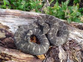 Eastern Massasauga Rattlesnake Michigan Natural Features Inventory In 2020 Rattlesnake Snake Species