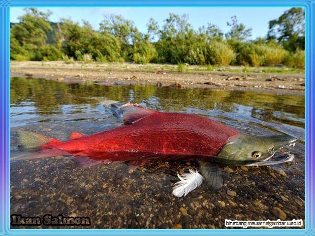 Download 830 Koleksi Gambar Ikan Salmon Terpopuler