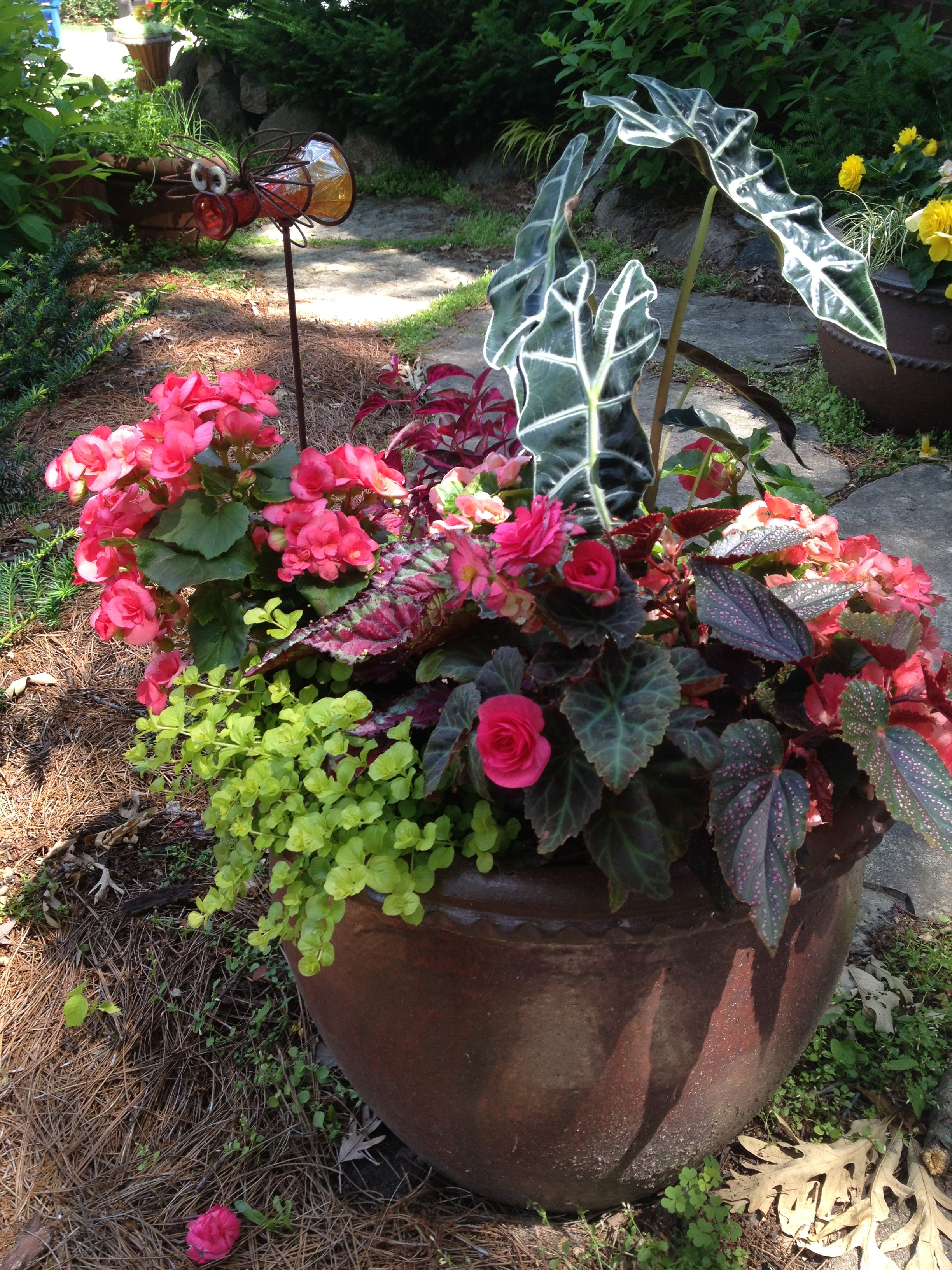 Shade annuals gonias lysmachia african mask rex begonias shade annuals gonias lysmachia african mask rex begonias izmirmasajfo