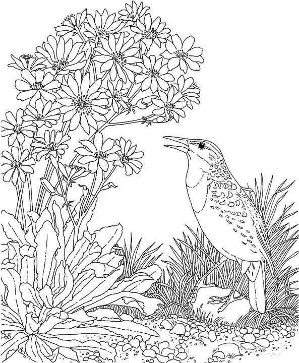 Montana Western Meadowlark Coloring Page Purple Kitty Bird