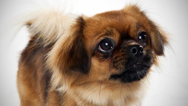 Tibetan Spaniel Dog Breed Selector Dog Breed Selector Tibetan