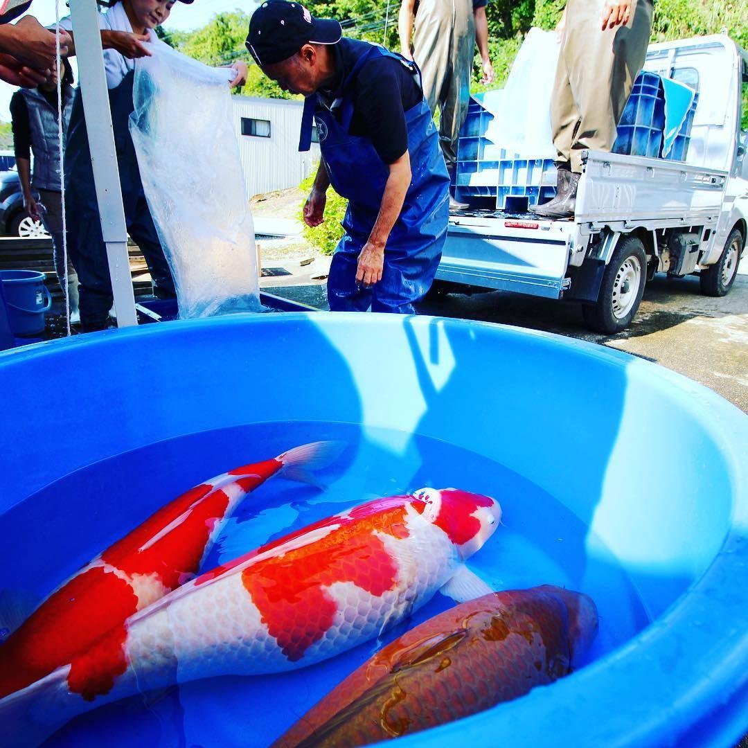First Vlog From Japan Is Online Check It Out Link In Bio Koi Koifish Carp Nishikigoi Japan Petsofinstagram Koi Fish Koi Koi Fish Pond
