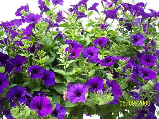 The Gardener S Companion How To Grow Wave Petunias Wave Petunias Petunia Flower Petunias