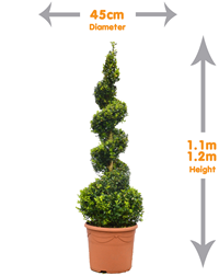 Buxus Spiral - Buxus Sempervirens Spiral elegant designs ideal for flanking steps and doorways