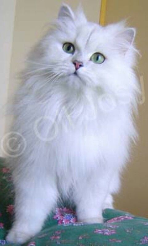 Vince Eighteen Pound Long Haired Grey And White Cat With Green Eyes Grey And White Cat White Cat Cats