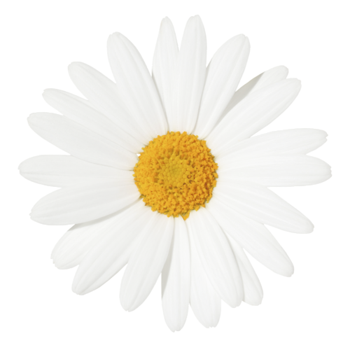 Yellow Centered Daisy Daisy Wallpaper Cactus Pictures Tumblr Transparents