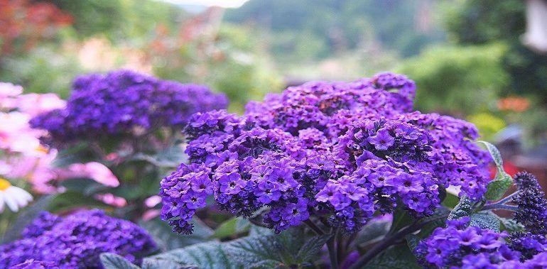 Heliotrop Peruwianski Pachnacy Wanilia Plants Flower Garden Flowers