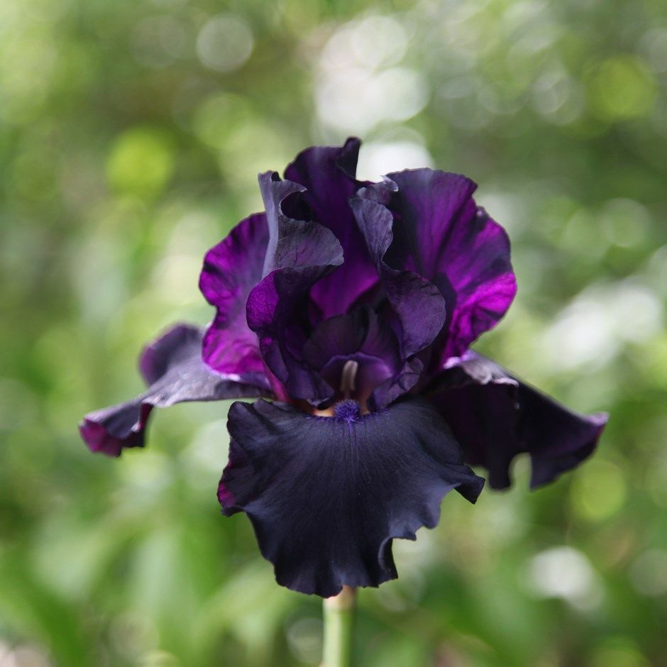 Iris superstition bearded iris iridceae pinterest bearded buy bearded iris iris superstition a stunning bearded iris with dusky purple black flowers from april to may delivery by crocus izmirmasajfo