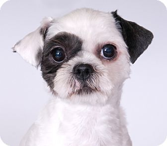 Chicago Il Shih Tzu Meet Bella A Dog For Adoption Http Www Adoptapet Com Pet 17122213 Chicago Illinois Shih T Cat Adoption Cat In Heat Cute Little Dogs