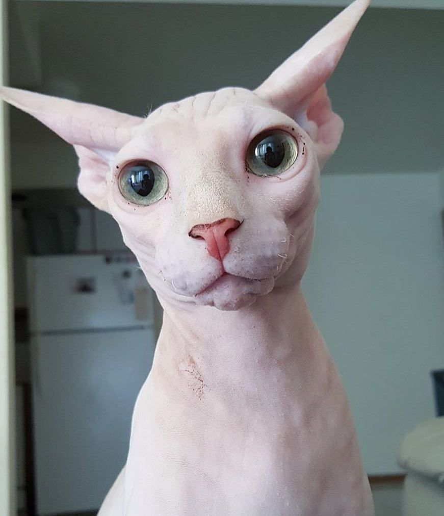 Did You Just Say It S Friday Thanks T Hairless Cat Spinx Cat Cute Cats And Kittens