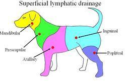 lymfesysteem hond - Google zoeken