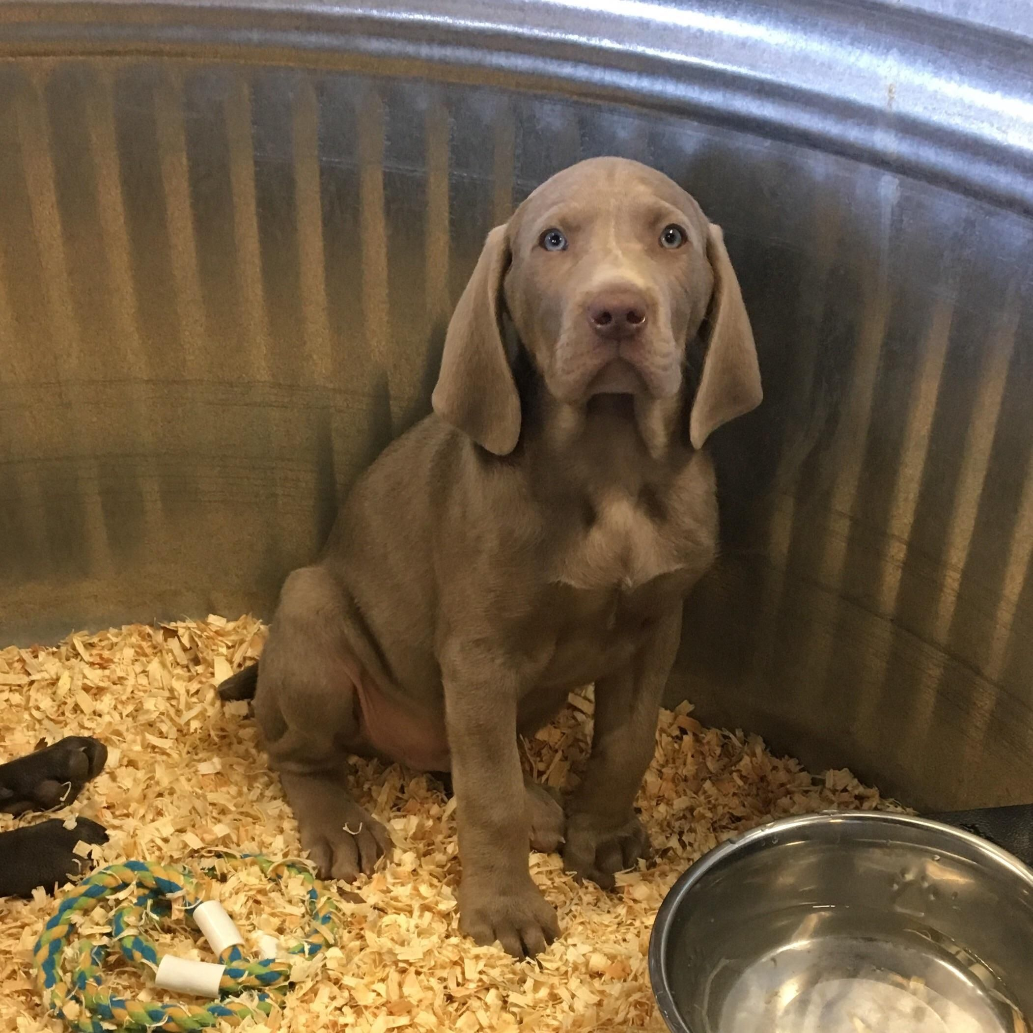 8 Week Old Great Dane Weimaraner Mix Http Ift Tt 2mghcmy