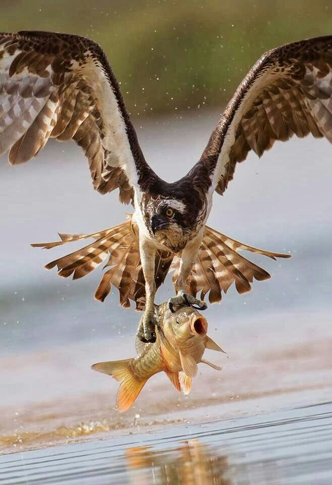 Osprey bird with fish