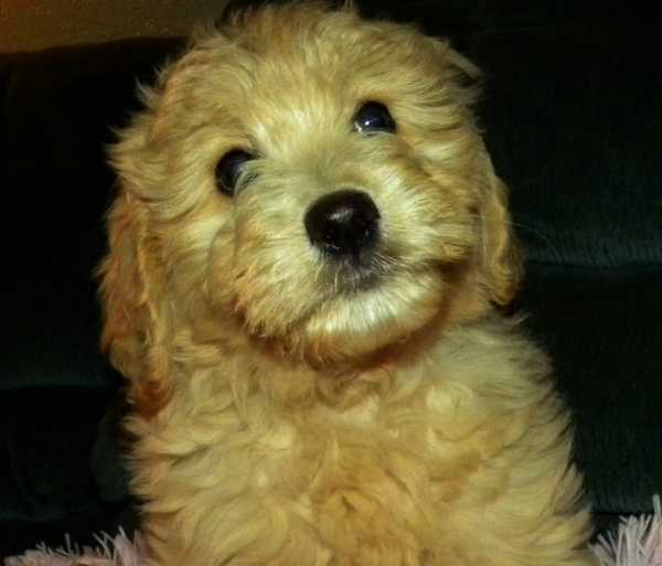 Only Get A Goldendoodle If You Want A Real Live Teddy Bear Goldendoodle Cool Pets Dog Crate Sizes
