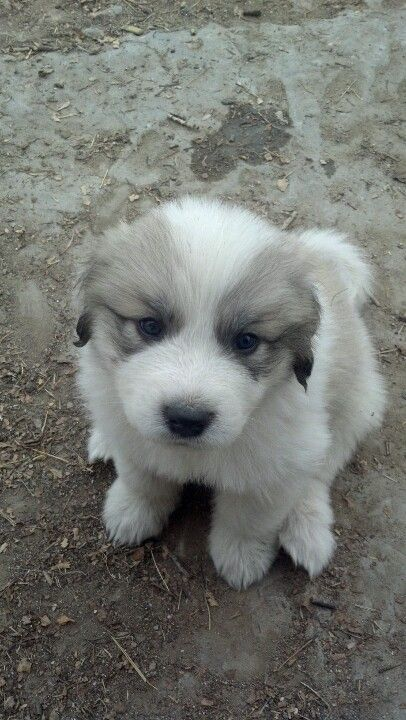 Great Pyrenees Puppy Reminds Me Of Our Dog Smokey Great