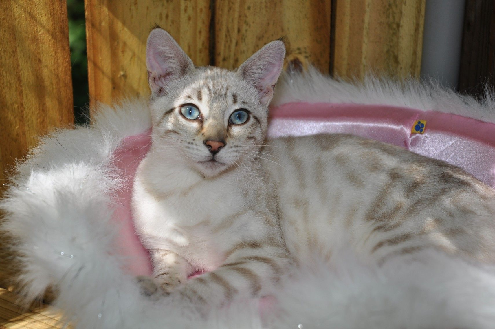 Asha - Silver Seal Lynx Marble | On the Wild Side (Bengal Cats ...