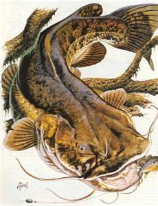 Flathead Catfish Printneed Inspiration For A Painting Artsy