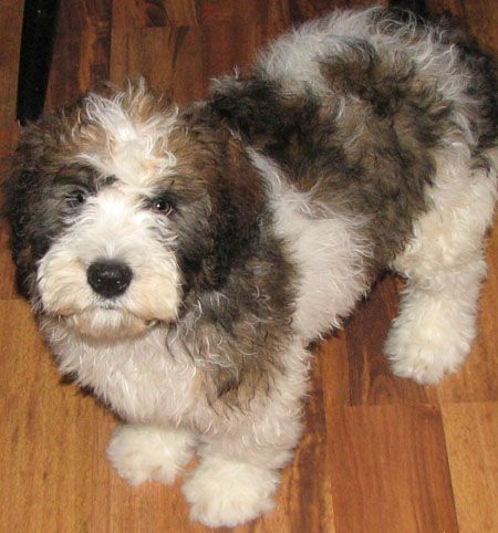 The Cutest Mixed Dog Breeds St Berdoodle Hybrid Dogs Cute Dog Mixes
