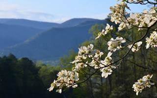Image: dogwood bloom