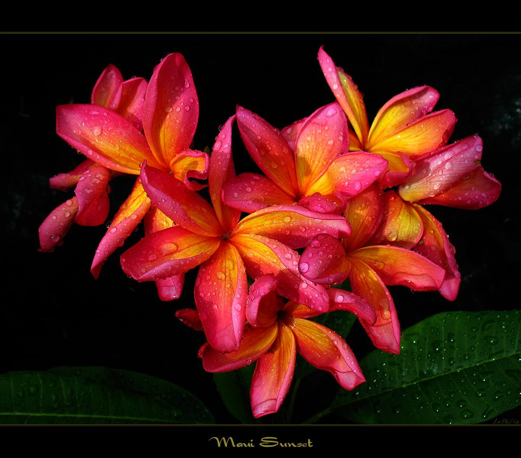 Types Of Hawaiian Flowers Hawaiian Flowers The Plumeria Maui