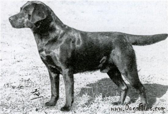 Pedigree Database Labrador Retriever Sandylands Tweed Of Blaircourt