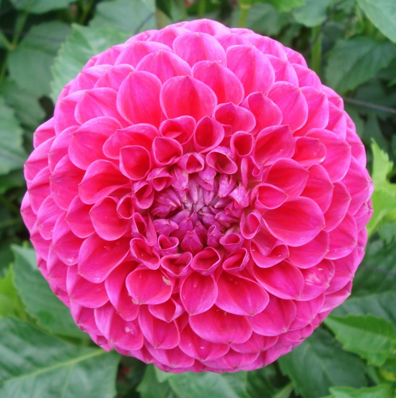 Dahlia Blyton Pink Maid Dahlia Flower Pansies Flowers Flowers