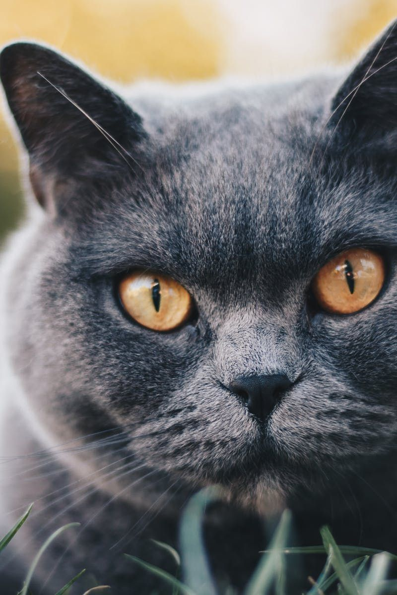 963555e7afbc10 Selective Focus Photography Of Grey Cat Cat luve stories @ #luveurpet