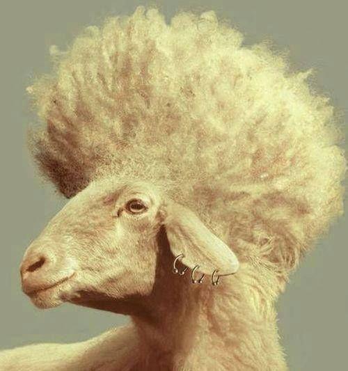 Картинки с овцами смешные