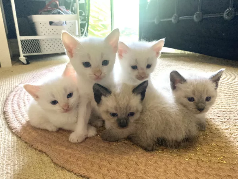 Beautiful Siamese x Manx kittens ready for forever homes
